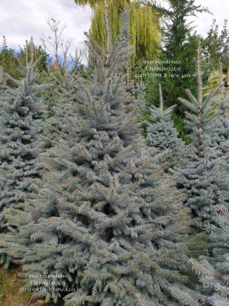 Ялина блакитна Глаука (Picea pungens Glauca) ФОТО Розплідник рослин Природа (89)