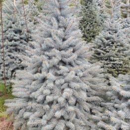 Ель голубая Глаука (Picea pungens Glauca) ФОТО Питомник растений Природа (90)