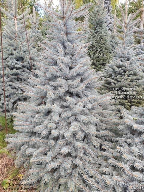 Ялина блакитна Глаука (Picea pungens Glauca) ФОТО Розплідник рослин Природа (90)