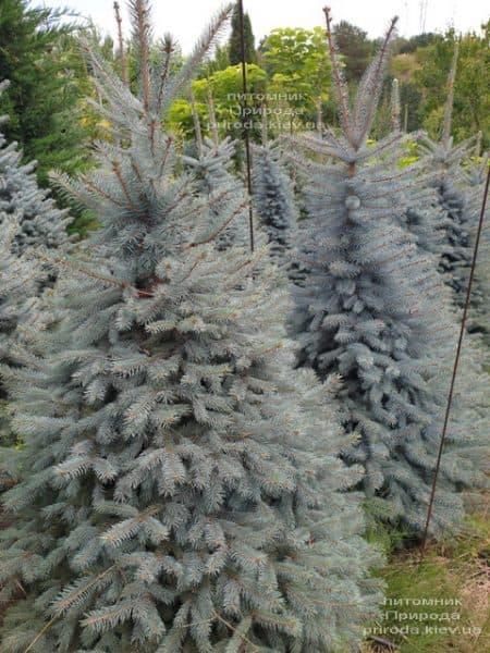 Ялина блакитна Глаука (Picea pungens Glauca) ФОТО Розплідник рослин Природа (91)