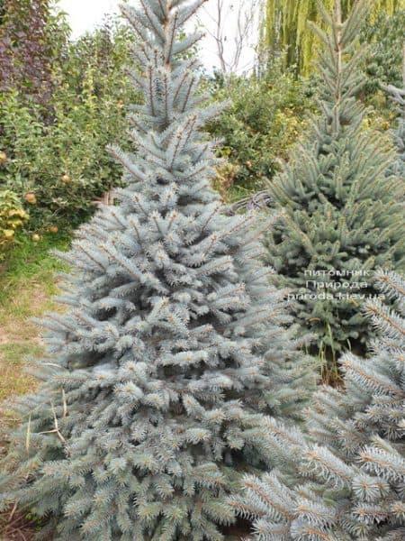 Ялина блакитна Глаука (Picea pungens Glauca) ФОТО Розплідник рослин Природа (92)