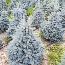 Ель голубая Глаука (Picea pungens Glauca) ФОТО Питомник растений Природа (93)