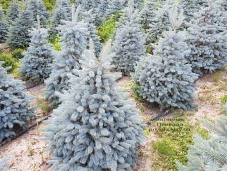 Ялина блакитна Глаука (Picea pungens Glauca) ФОТО Розплідник рослин Природа (93)