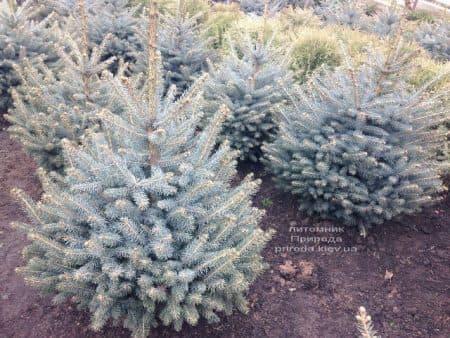 Ель голубая Глаука (Picea pungens Glauca) ФОТО Питомник растений Природа (94)
