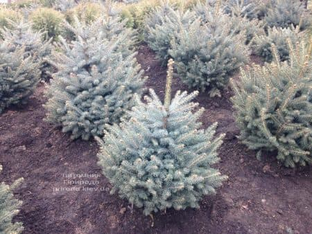 Ель голубая Глаука (Picea pungens Glauca) ФОТО Питомник растений Природа (95)