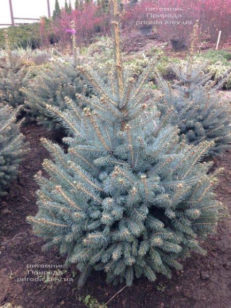 Ель голубая Глаука (Picea pungens Glauca) ФОТО Питомник растений Природа (96)