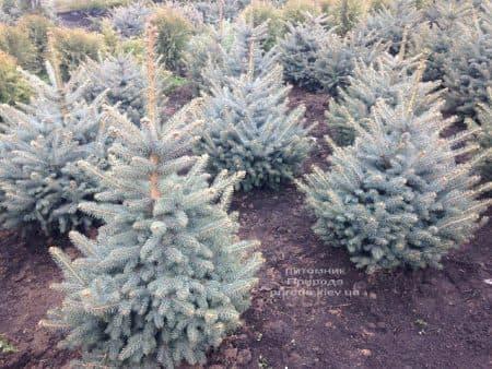 Ель голубая Глаука (Picea pungens Glauca) ФОТО Питомник растений Природа (97)