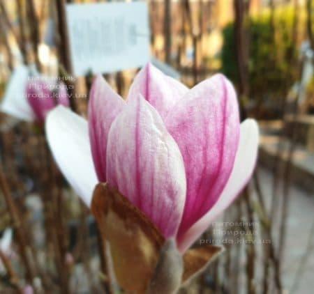 Магнолія Суланжа Кейт Брук (Magnolia Kate Brook) ФОТО Розплідник рослин Природа (3)