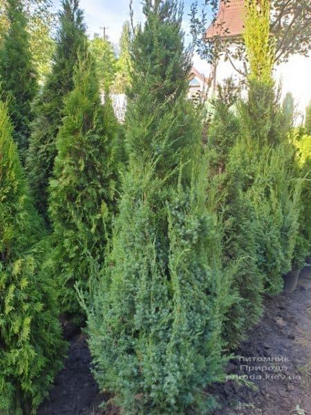 Можжевельник китайский Обелиск (Juniperus chinensis Obelisk) ФОТО Питомник растений Природа (11)