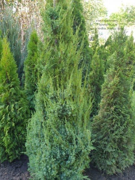 Можжевельник китайский Обелиск (Juniperus chinensis Obelisk) ФОТО Питомник растений Природа (12)
