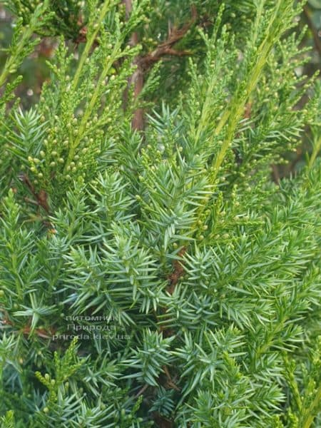 Можжевельник китайский Обелиск (Juniperus chinensis Obelisk) ФОТО Питомник растений Природа (7)