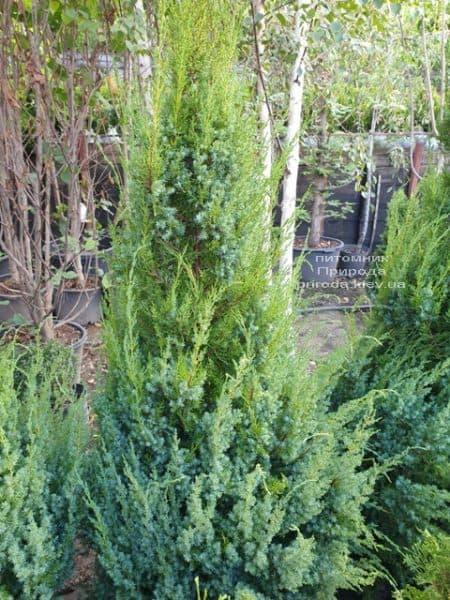 Можжевельник китайский Обелиск (Juniperus chinensis Obelisk) ФОТО Питомник растений Природа (8)