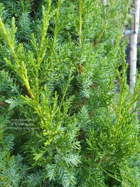 Можжевельник китайский Обелиск (Juniperus chinensis Obelisk) ФОТО Питомник растений Природа (9)