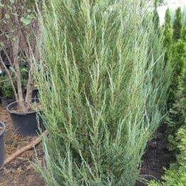 Ялівець скельний Блю Арроу (Блю Ерроу) (Juniperus scopolorum Blue Arrow) ФОТО Розплідник рослин Природа (36)