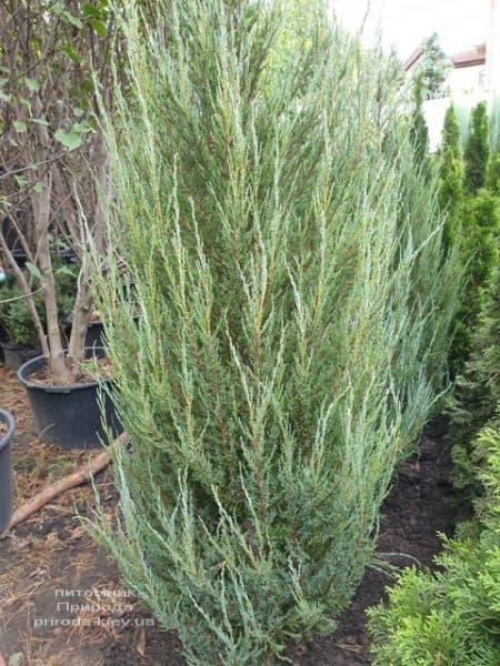 Можжевельник скальный Блю Арроу (Блю Эрроу) (Juniperus scopolorum Blue Arrow) ФОТО Питомник растений Природа (36)