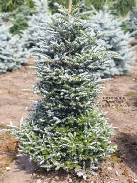 Пихта корейская Силберлок (Abies koreana Silberlocke) ФОТО Питомник растений Природа (10)
