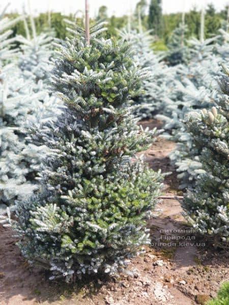 Пихта корейская Силберлок (Abies koreana Silberlocke) ФОТО Питомник растений Природа (11)
