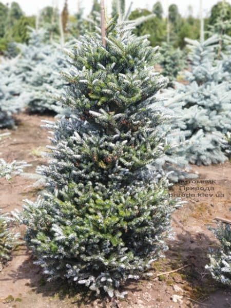 Пихта корейская Силберлок (Abies koreana Silberlocke) ФОТО Питомник растений Природа (12)