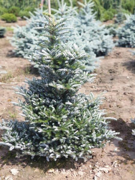 Пихта корейская Силберлок (Abies koreana Silberlocke) ФОТО Питомник растений Природа (13)