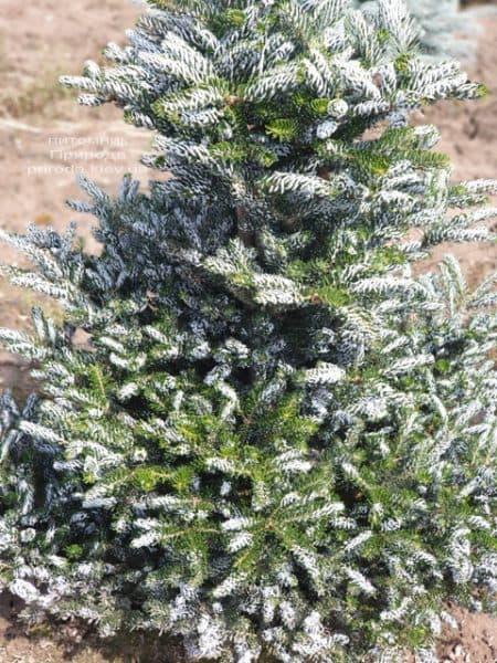 Пихта корейская Силберлок (Abies koreana Silberlocke) ФОТО Питомник растений Природа (14)