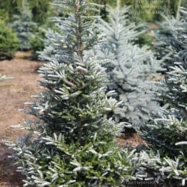 Ялиця корейська Сілберлок (Abies koreana Silberlocke) ФОТО Розплідник рослин Природа (9)