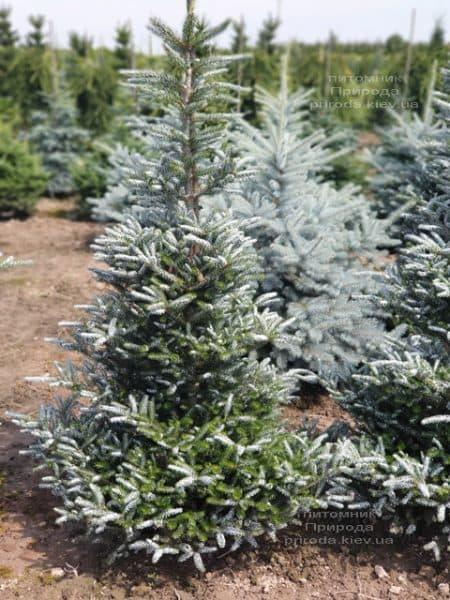 Пихта корейская Силберлок (Abies koreana Silberlocke) ФОТО Питомник растений Природа (9)