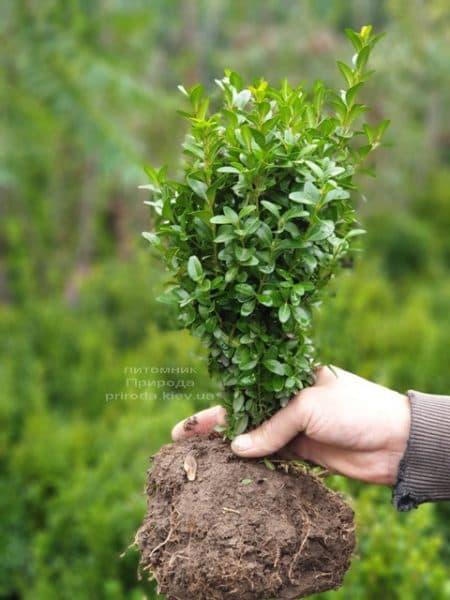 Самшит вечнозелёный (Buxus sempervirens) ФОТО Питомник растений Природа (12)