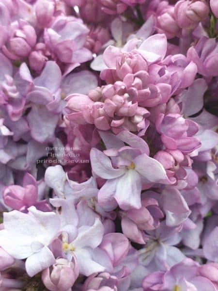 Сирень Кэтрин Хавемейер (Syringa vulgaris Kathrine Havemeyer) ФОТО Питомник растений Природа (12)