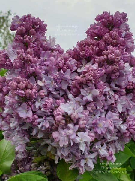 Сирень Кэтрин Хавемейер (Syringa vulgaris Kathrine Havemeyer) ФОТО Питомник растений Природа (13)