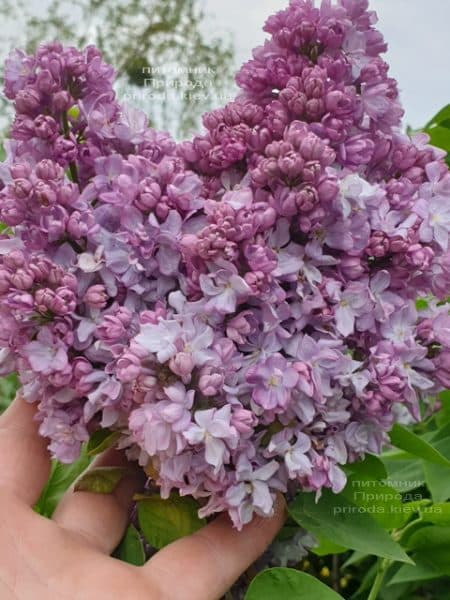 Сирень Кэтрин Хавемейер (Syringa vulgaris Kathrine Havemeyer) ФОТО Питомник растений Природа (14)