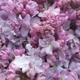 Сирень Кэтрин Хавемейер (Syringa vulgaris Kathrine Havemeyer) ФОТО Питомник растений Природа (15)