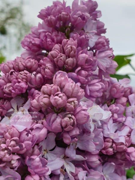 Сирень Кэтрин Хавемейер (Syringa vulgaris Kathrine Havemeyer) ФОТО Питомник растений Природа (16)