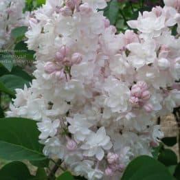 Сирень Красавица Москвы (Syringa vulgaris Krasawica Moskwy) ФОТО Питомник растений Природа (13)