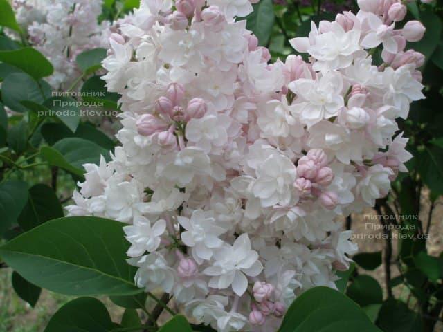 Бузок Красуня Москви (Syringa vulgaris Krasawica Moskwy) ФОТО Розплідник рослин Природа (13)