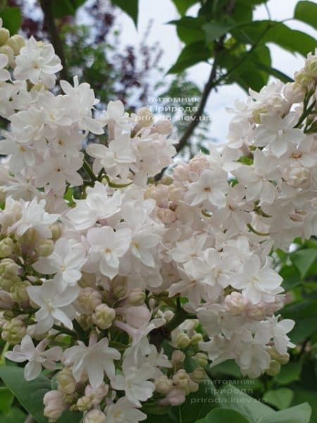 Бузок Красуня Москви (Syringa vulgaris Krasawica Moskwy) ФОТО Розплідник рослин Природа (14)