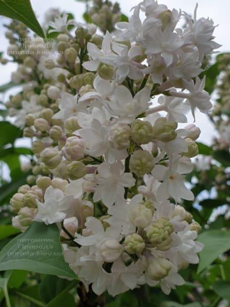Бузок Красуня Москви (Syringa vulgaris Krasawica Moskwy) ФОТО Розплідник рослин Природа (15)