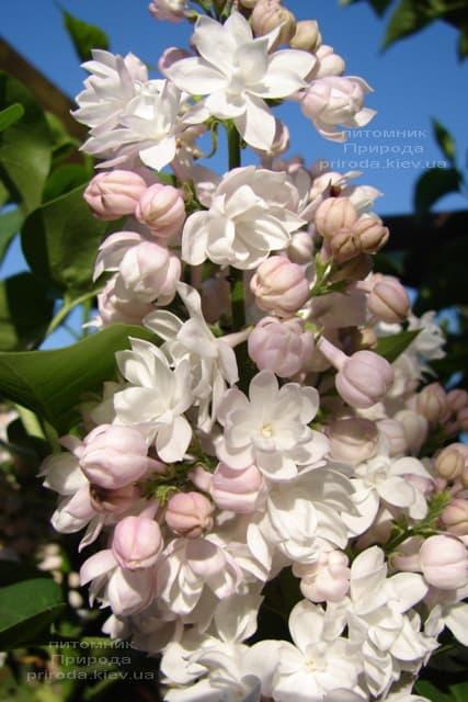 Бузок Красуня Москви (Syringa vulgaris Krasawica Moskwy) ФОТО Розплідник рослин Природа (16)