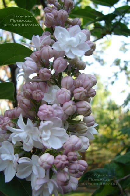 Бузок Красуня Москви (Syringa vulgaris Krasawica Moskwy) ФОТО Розплідник рослин Природа (17)