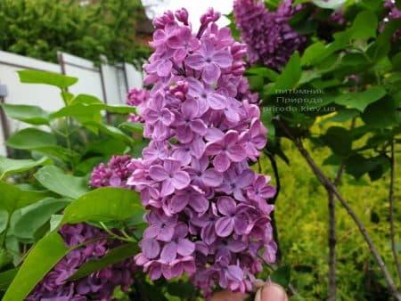 Бузок Людвіг Шпет (Syringa vulgaris Andenken an Ludwig Spath) ФОТО Розплідник рослин Природа (10)