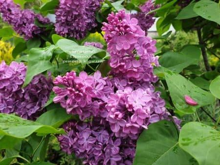 Бузок Людвіг Шпет (Syringa vulgaris Andenken an Ludwig Spath) ФОТО Розплідник рослин Природа (9)