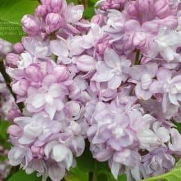 Сирень Олимпиада Колесникова (Syringa vulgaris Olimpiada Kolesnikova) ФОТО Питомник растений Природа (1)
