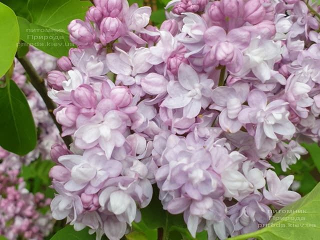 Бузок Олімпіада Колесникова (Syringa vulgaris Olimpiada Kolesnikova) ФОТО Розплідник рослин Природа (1)
