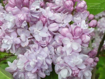 Бузок Олімпіада Колесникова (Syringa vulgaris Olimpiada Kolesnikova) ФОТО Розплідник рослин Природа (2)
