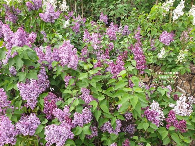 Бузок в розпліднику рослин Природа (14)