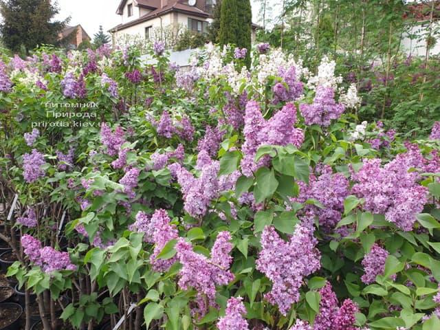 Бузок в розпліднику рослин Природа (15)