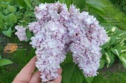 Сирень в Питомнике растений Природа (25)