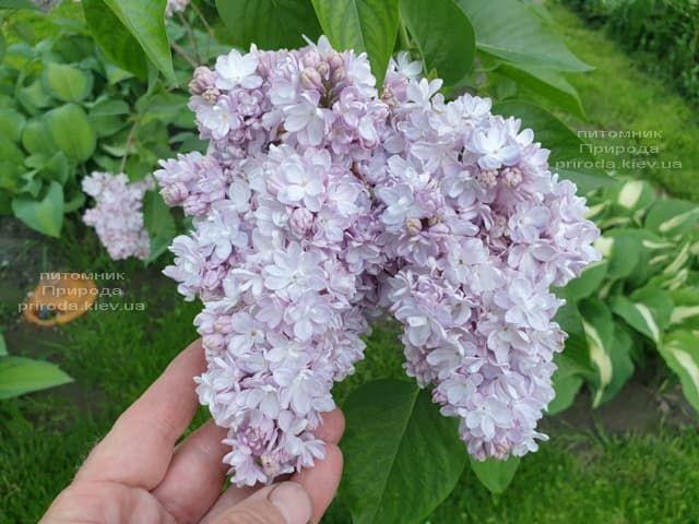 Бузок в розпліднику рослин Природа (25)