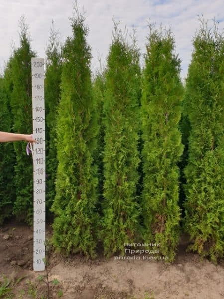 Туя західна колоновидна Колумна (Thuja occidentalis Columna) ФОТО Розплідник рослин Природа (23)