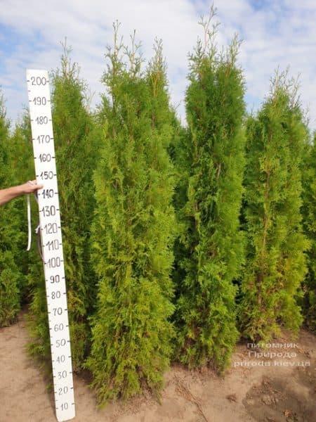 Туя західна колоновидна Колумна (Thuja occidentalis Columna) ФОТО Розплідник рослин Природа (24)