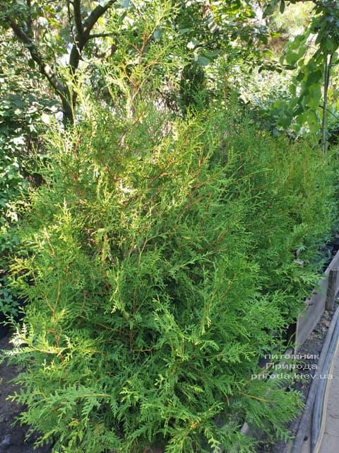 Туя західна Брабант (Thuja occidentalis Brabant) ФОТО Розплідник рослин Природа (69)
